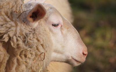 A closeup of a sheep's face. The sheep looks to be in pain.
