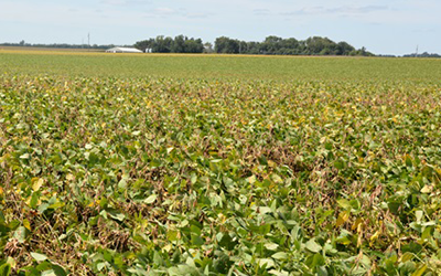soybean field with white mold
