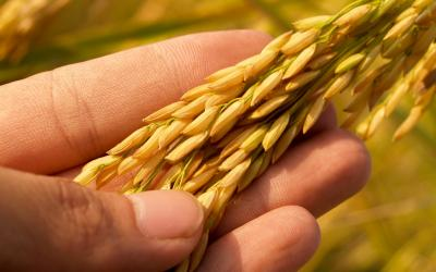 A hand examining a wheat plant in a wheat field