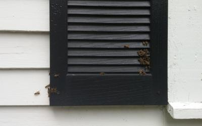 wasps building a nest on the shutter of a house