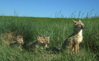 A swift fox with her young sitting in a grassy patch of rangeland.