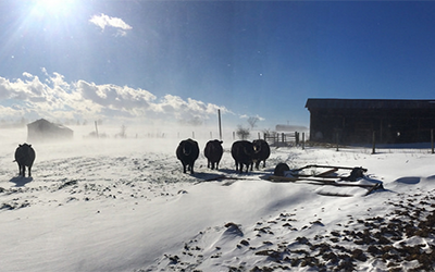 cattle out on a snowy white day
