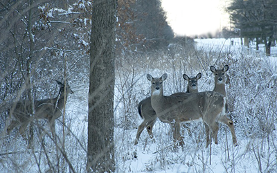 A group of white tail deer in a snowy clearing.