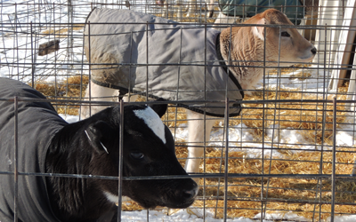 Two dairy calves in a small pen wearing warming jackets.