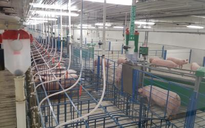 Several rows of sow pens in a swine facility.
