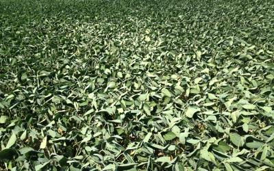 A field of soybeans with leaves flipping upward.