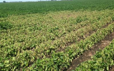 A soybean field with notisable yellowing and browning on a section of plants.