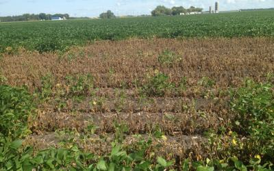 A soybean field with a large brown area due to a lightning strike.