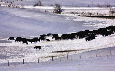 A heard of cattle grazing in a snowy pasture.
