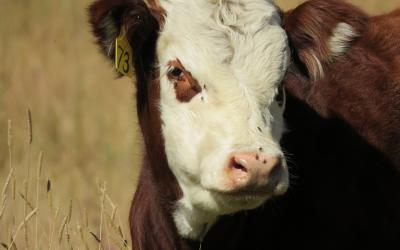 A hereford calf in a field with flies on its face.