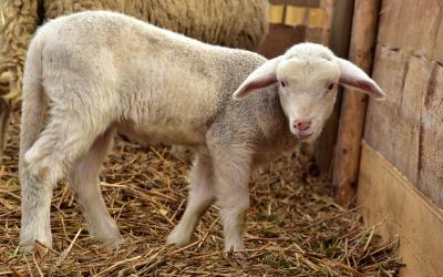A young lamb standing in a barn stall.