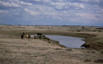 A herd of cattle grazing near a pond on an open range.