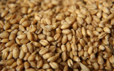 A pile of brown wheat seeds