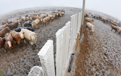 A herd of cattle weathering a blizzard.