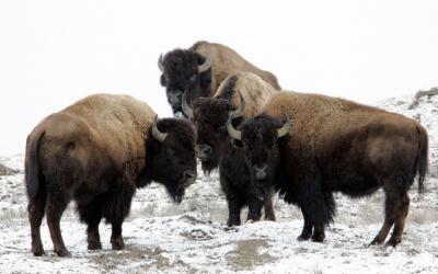 4 head of bison standing in a snowy field