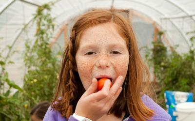 A young, freckled girl eating small, red tomatoes inside a greenhouse.