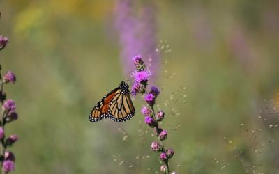 An orange and black monarch butterfly resting on a purple flower.