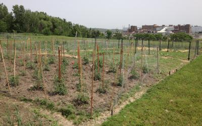 A community garden plot with several tomato plants growing.