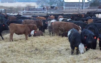 A group of calves in a feedlot with ample bedding.