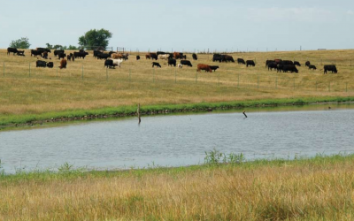 A herd of cattle grazing near a stock pond.