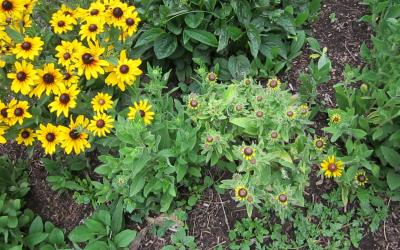 A cluster of yellow flowers with a large patch of green, wilting flowers on the right.
