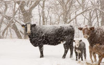 A pair of cows with their calves in a pasture with heavy snowfall.
