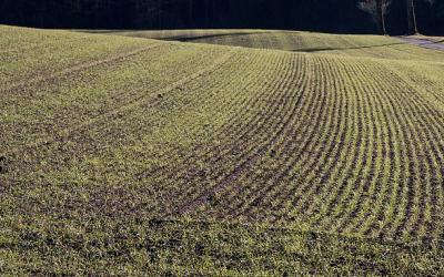 A spring wheat field with young wheat emerging.