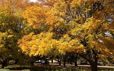 A grove of trees with bright yellow and orange leaves.