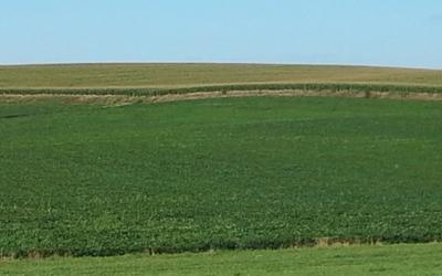 A soybean field with green soybeans and patchy yellow areas.