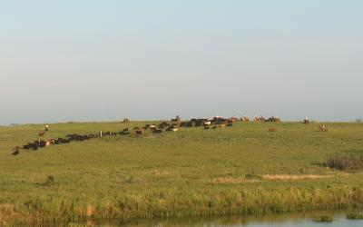 several cattlemen on horseback moving a herd of cattle at pasture