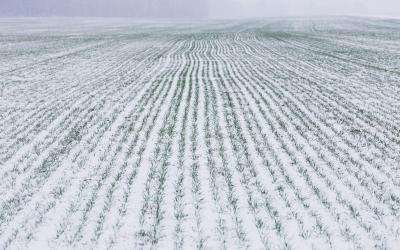 Winter wheat field covered with snow