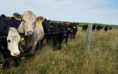 Small group of cattle eating plants near a fenceline