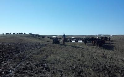 ranchers observing cattle in late winter pasture