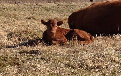 A calf resting next to its mother in a dry pasture.