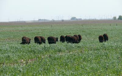 small group of cattle grazing on cover crops