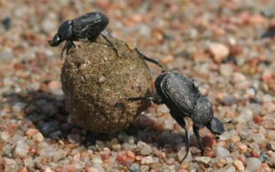 two black beetles rolling a ball of dung