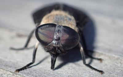grey to brown fly with large eyes and elongated mouthparts