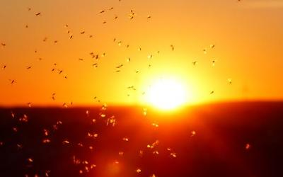 Flock of mosquitoes in front of sunset.