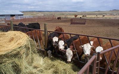 small group of cattle at hay feeder