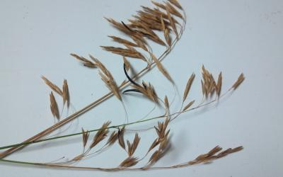 blades of brome grass with a brown to black, thumbnail-shaped growth on one of the blades.