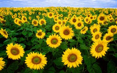 filed of sunflowers in bloom