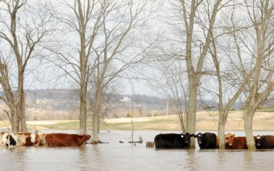 small group of cattle in a flooded pasture. FEMA News Photo