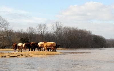 small group of cattle on a small piece of dry land surrounded by flood waters. FEMA News Photo