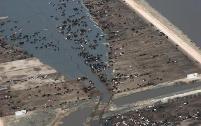 herd of cattle in a muddy feedlot with serious flooding. FEMA News Photo