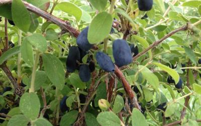 a shrub-like plant green leaves and dark purple, grape-like fruit