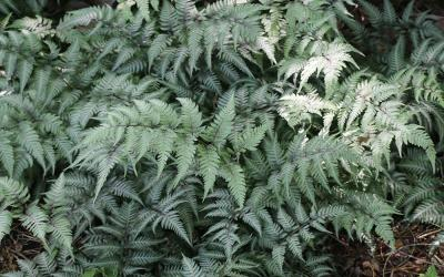a fern plant with green to white, frosty colored leaves