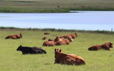 group of cattle resting in spring pasture. Courtesy: Krista Lundgren/USFWS