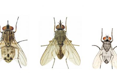 illustration: four flies side-by-side in decreasing size