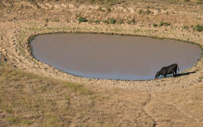 black cow drinking from a nearly empty stock pond.