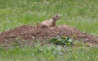 a black tailed prairie dog resting on a mount